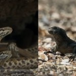 Ozzy Man's Commentary On Baby Iguana Vs Snakes Is Guaranteed To Make You Laugh Until You Pee