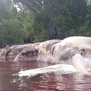 This Gigantic Sea Creature Drifted Ashore In Indonesia And Nobody Knows What The Heck It Is