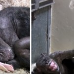 This 59-Year-Old Chimpanzee Was Ready To Die… Until She Received A Final Visit From An Old Friend