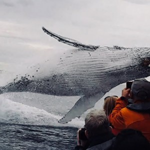 This Whale Jumped Out Of NOWHERE During A Sightseeing Tour. Seconds Later… OMG