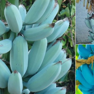 Blue Bananas Actually Exists And They Apparently Tastes Like Vanilla Ice Cream
