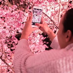 Featured Event Of The Week: Sydney Cherry Blossom Festival