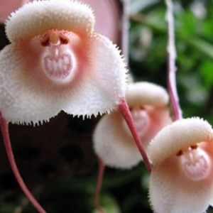 These Rare Orchids Actually Looks Like Small Monkey Faces. Yes, You Read Right!