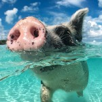 OMG! Apparently There's An Island Where You Can Swim With Piglets??